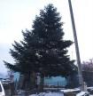 История одной елки