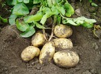 Картофелеводство по науке